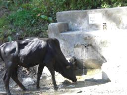 A cow also gets thirsty