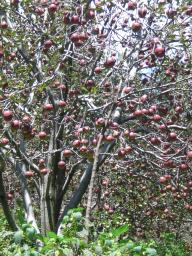 Himachal apple trees